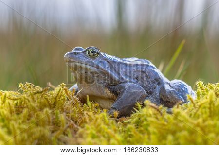 Blue Moor Frog Side View