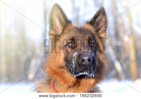 Portrait of a beautiful fluffy German shepherd dog Junior puppy in a winter snowy field.