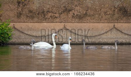 Family of wild mute swans. Are floating in the river in the city.