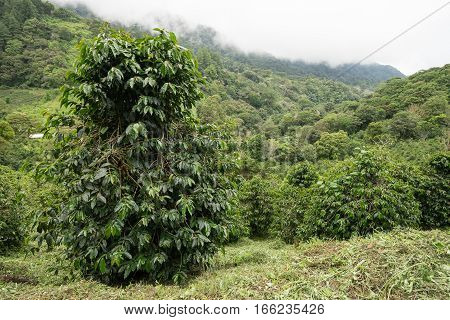 coffee bush in the Panama highlands by Boquete