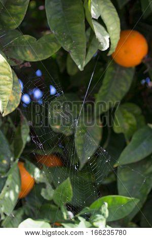 Web. Spiderweb. Orange tree. Plant. Green leaf.