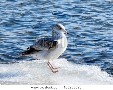 The gull on a shore of the Lake Ontario in Toronto Canada January 6 2017