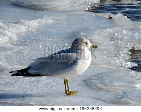 The gull on ice in a shore of the Lake Ontario in Toronto Canada January 6 2017