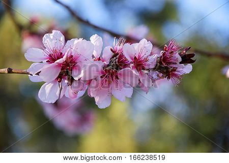 isolate pink white cherry flowers on branch