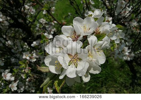 A white nanking cherry flowers on branch