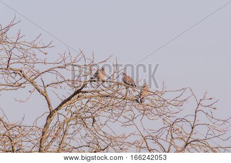 Three pigeons perched in a barren tree a hazy sky in the background