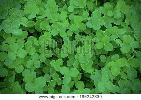 Green clover leaves in meadow defocused background. St. Patricks day greeting card. Summer shamrock Irish festival symbol.