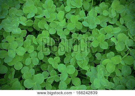 Green clover leaves in meadow defocused background. St. Patricks day greeting card. Summer shamrock Irish festival symbol.