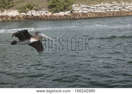 Immature Brown Pelican Flying along the Boca Raton Inlet