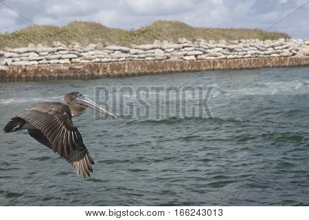 Immature Brown Pelican Flying along the Boca Raton Inlet waiting for the next meal to swim by