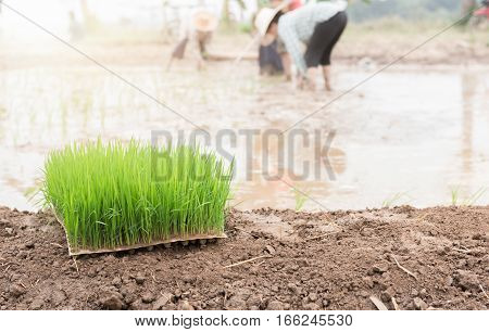 seedlings rice for transplanting paddy field in Thailand