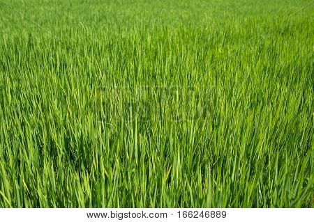 Rice field close up, Agriculture background and abstract