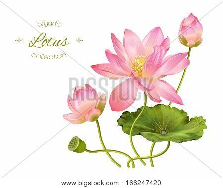 Vector realistic illustration of lotus flowers and leaves isolated on white background.. Design for natural cosmetics health care and ayurveda products yoga center.