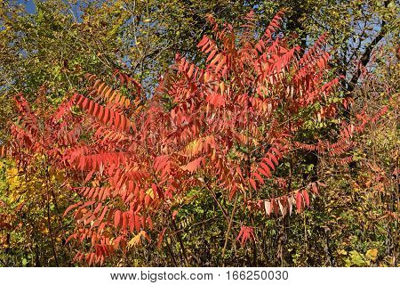 Staghorn Sumac in the Fall in Wyalusing State Park in Wisconsin