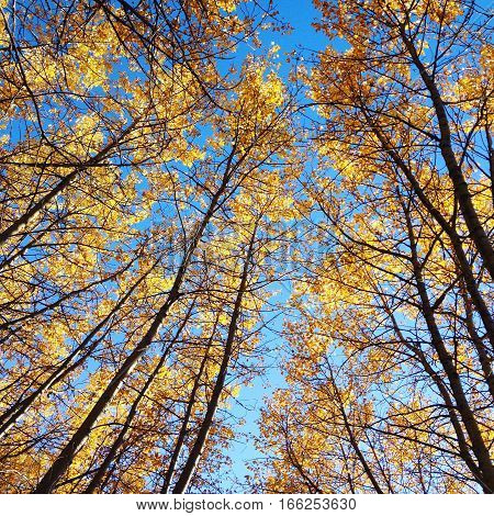 Golden autumn forest trees and blue sky. Looking up through tall autumn trees with golden yellow leaves to bright clear blue sky.