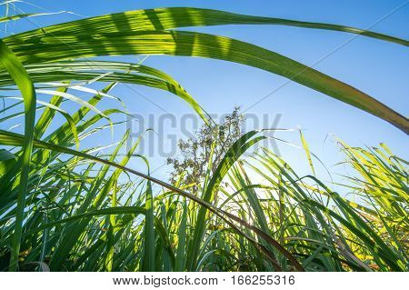 Clouse Up Sugar Cane Field With Blue Sky And  Sun Rays Nature Background.