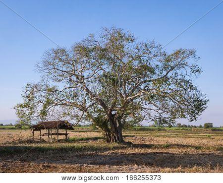 bo tree bothi tree pipal tree with hut in autumn season nature landscape background.