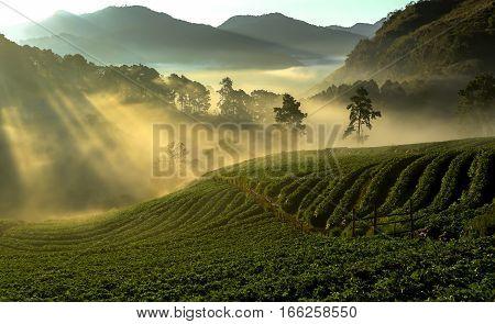 Misty Morning Sunrise In Strawberry Garden At Doi Ang Khang Mountain Of Thailand- Burma Border, Chia