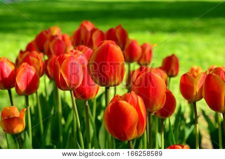 Bright Red And Yellow Tulips On A Background Of Green Lawn