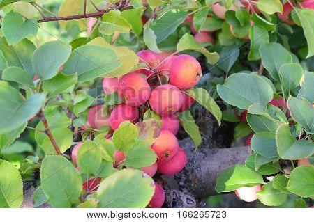 Apple Farm Orchards Nh