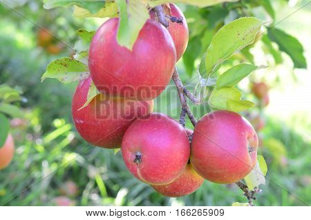 Appetizing Apple Orchards