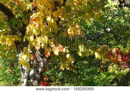 Apple Orchard Pine Tree