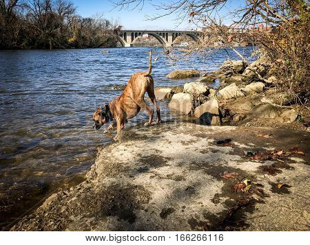 boxer dog drinks out of Potomac River in fall