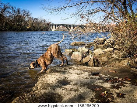 Dog Drinks From River