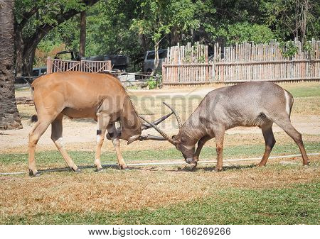 CHONBURI; January ‎2, ‎2017 Two males impala fight in for the herd with the best territory at Khao Kheow Zoo on January 2, 2017, Chonburi, THAILAND