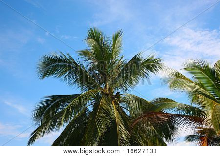 an image of coconut tree