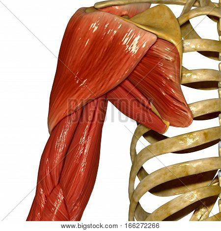 Although three ligaments protect and surround the shoulder joint, most of its stability comes from the powerful muscles and tendons of the rotator cuff.