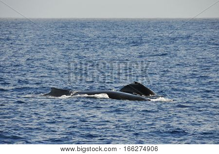 Whale with his whale baby in the Indian Ocean near Reunion Island