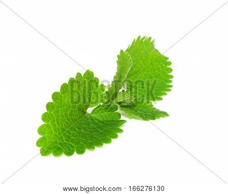 Close up on Green Lemon Melissa Mint Leaves Isolated on a White Background.