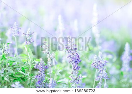 close up the beautiful purple blue flower in garden Sage plant (lat. Salvia Officinalis)