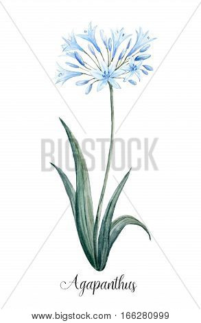 Beautiful illustration of hand drawn watercolor Agapanthus blue flower