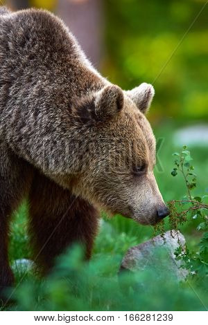 Portrait of a big brown bear photographed free in Finnish taiga