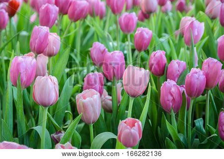 Beautiful pink tulip flowers field in the spring