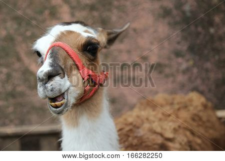 Llama Laughing With Yellow Teeth And A Long Neck