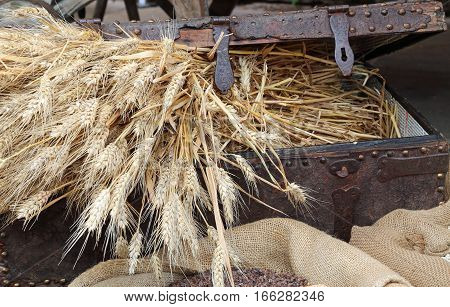 Chest With The Treasure Of Mature Ears Of Ripe Wheat