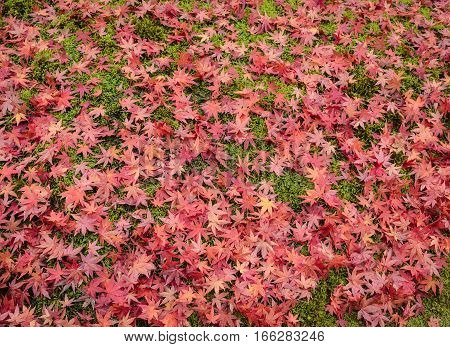Colorful autumn background with carpet of red maple leaves on grass in Japan
