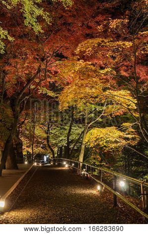 Autumn Japanese garden with maple foliage lighted up at night in Kyoto Japan