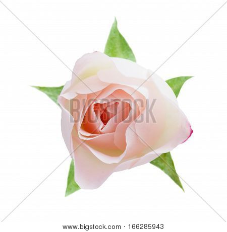 Pink rose flower isolated on white background. Bud closeup, top view