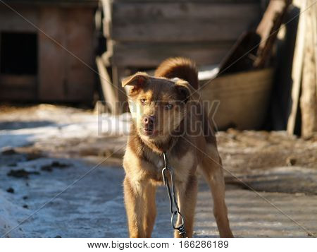 dog tied on a chain guards the house barking at passers-by