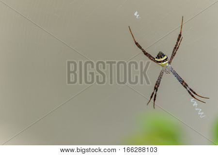 Spiders(Argiope versicolor)-Spiders on webs in nature background.