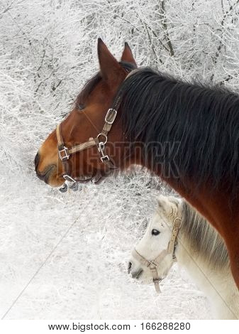 Big brown horse and small white pony in winter landscape