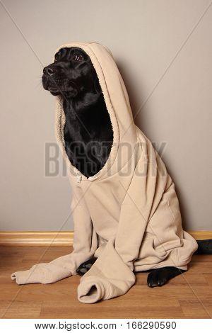 dog, labrador, puppy, dog sweater, pet, favorite pet, animal, black