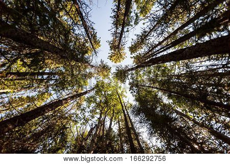 A low vertical view up the trees deep within a forest in the Banff National Park Alberta Canada.