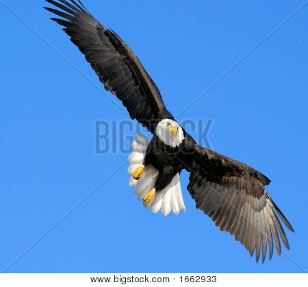 Bald eagle flying in a cloudless sky in Alaska poster