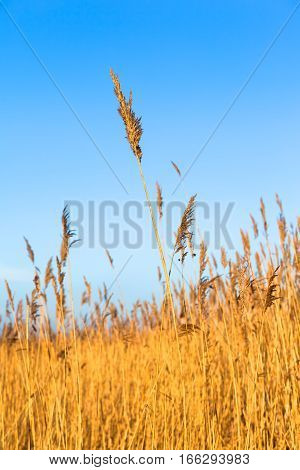 Yellow reed grass at natural incidence and blue sky (copy space)