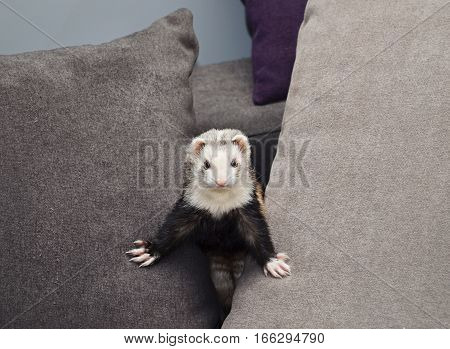 Funny ferret is look out from pillows